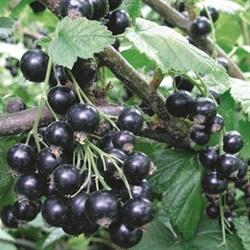 Смородина черная Селеченская - фото 4488