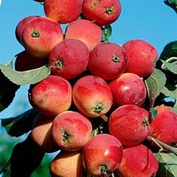 Яблоня колоновидная Валюта - фото 4538