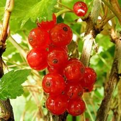 Смородина красная Сахарная - фото 4567