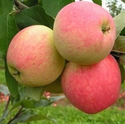 Яблоня Мечта - фото 4590