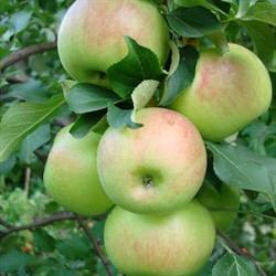 Яблоня Богатырь - фото 4593