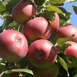 Яблоня Лобо - фото 4602