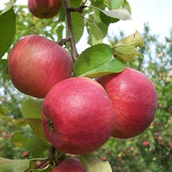 Яблоня Жигулевское - фото 4612