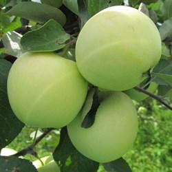 Яблоня Белый Налив - фото 4618
