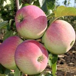 Яблоня Свежесть - фото 4621
