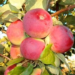Яблоня Орлик - фото 4628