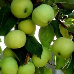 Яблоня Папировка - фото 4631