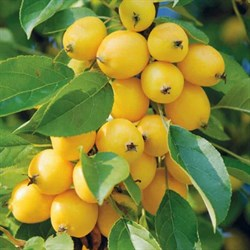 Яблоня Китайка Золотая - фото 4634