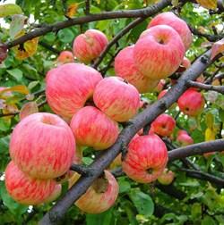 Яблоня Коричное Полосатое - фото 4637
