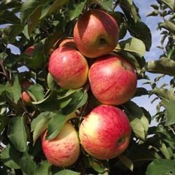 Яблоня колоновидная Останкино - фото 4652