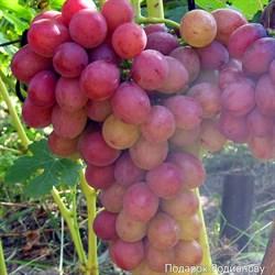 Виноград Подарок Радионову - фото 4746