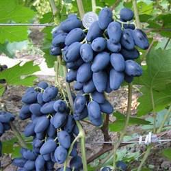 Виноград Атос - фото 4750