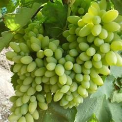 Виноград Тимур - фото 4754