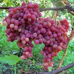 Виноград Велес - фото 4760