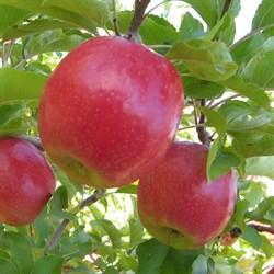 Яблоня Беркутовское - фото 4875