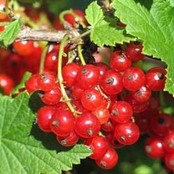 Смородина красная Рачновская - фото 4947