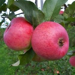 Яблоня Ауксис - фото 4977