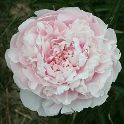 Пион Алиса Хардинг травянистый - фото 4995