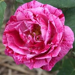 Роза ремонтантная Фердинанд Пичард - фото 5201