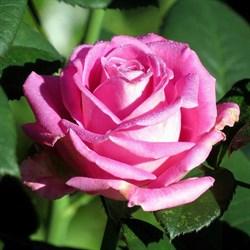 Роза чайно-гибридная Аква - фото 5211