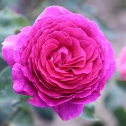 Роза чайно-гибридная Биг Перпл - фото 5219