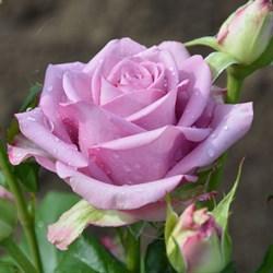 Роза чайно-гибридная Кул Ватер - фото 5225