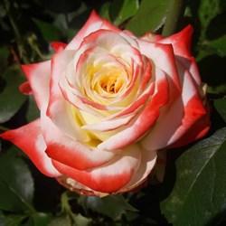 Роза чайно-гибридная Императрица Фарах - фото 5231