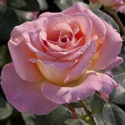 Роза чайно-гибридная Элль - фото 5243