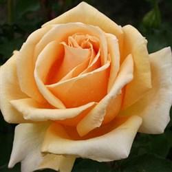 Роза чайно-гибридная Валенсия - фото 5245