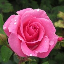 Роза флорибунда Маджента Диадем - фото 5248