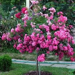Роза на штамбе Пинк Фейри 110см - фото 5251