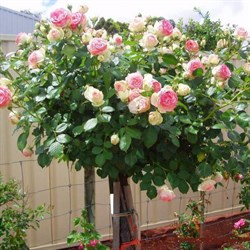 Роза на штамбе Эден Роуз 110см - фото 5255