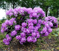 Рододендрон гибридный Пурпуреум Грандифлорум - фото 5292