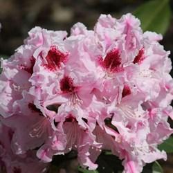 Рододендрон гибридный Королева Ядвига - фото 5297