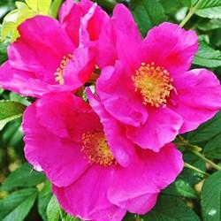 Роза руготида Дарт'с Дефендер 40см - фото 5539