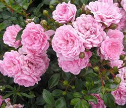 Роза почвопокровная Фэйри 30см - фото 5545