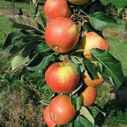 Яблоня колоновидная Триумф - фото 5649