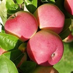 Яблоня Конфетное семенной подвой - фото 5651