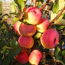 Яблоня Услада семенной подвой - фото 5657