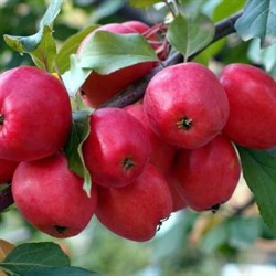 Яблоня Китайка Долго семенной подвой - фото 5672
