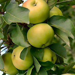 Яблоня колоновидная Диалог семенной подвой - фото 5680