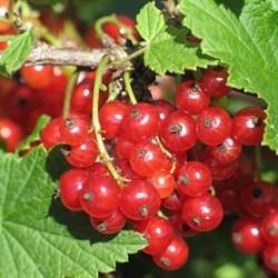 Смородина красная Ранняя Толмачева - фото 5852