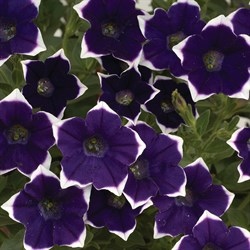 Петуния каскадная Rim Violet в горшке - фото 6072