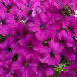 Петуния ампельная Ray Purple в горшке - фото 6103