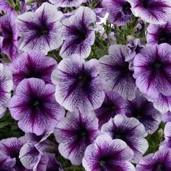 Петуния ампельная Ray Purple Vein в горшке - фото 6107