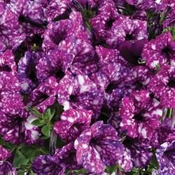 Петуния ампельная Splash Dance Purple Polka в горшке - фото 6140