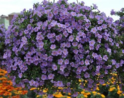 Бакопа Scopia Gulliver Violet в горшке - фото 6266