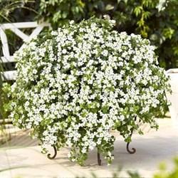 Бакопа Scopia Gulliver White в горшке - фото 6268