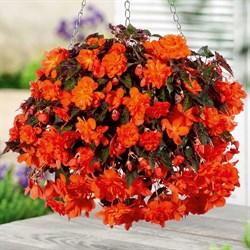 Бегония гибридная Funky Orange (ампельная) в горшке - фото 6280