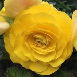 Бегония клубневая Nonstop Mocca Yellow в горшке - фото 6283